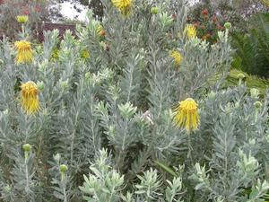 Culture et entretien de <em>Leucospermum</em>