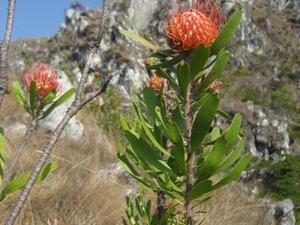 Plantation de <em>Leucospermum</em>