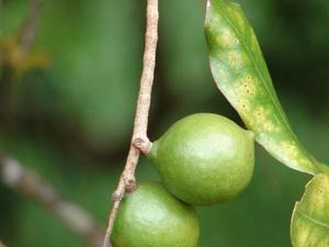 Multiplication du macadamia