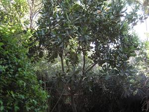 Plantation du macadamia