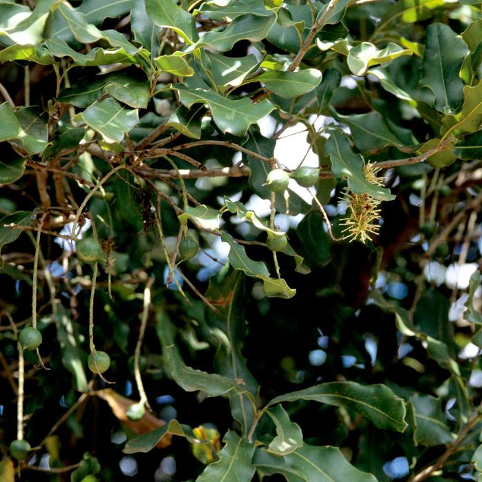 Macadamia cultivé Macadamia integrifolia