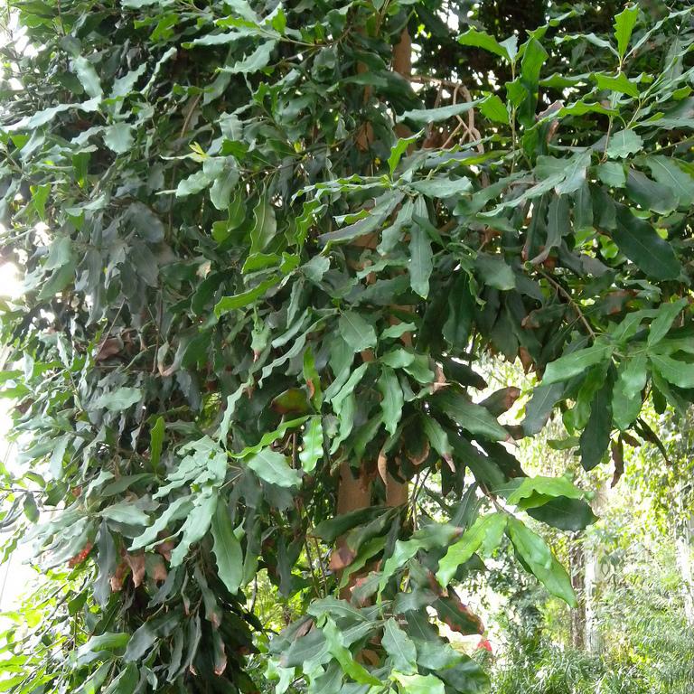Macadamia amer et toxique, non cultivé Macadamia ternifolia