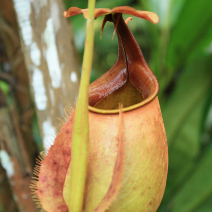 Népenthès épiphytes Nepenthes bicalcarata