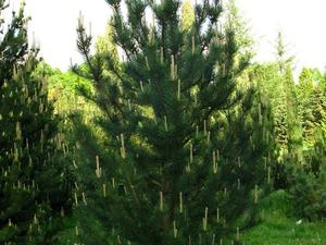 Multiplication de <em>Pinus mugo</em>