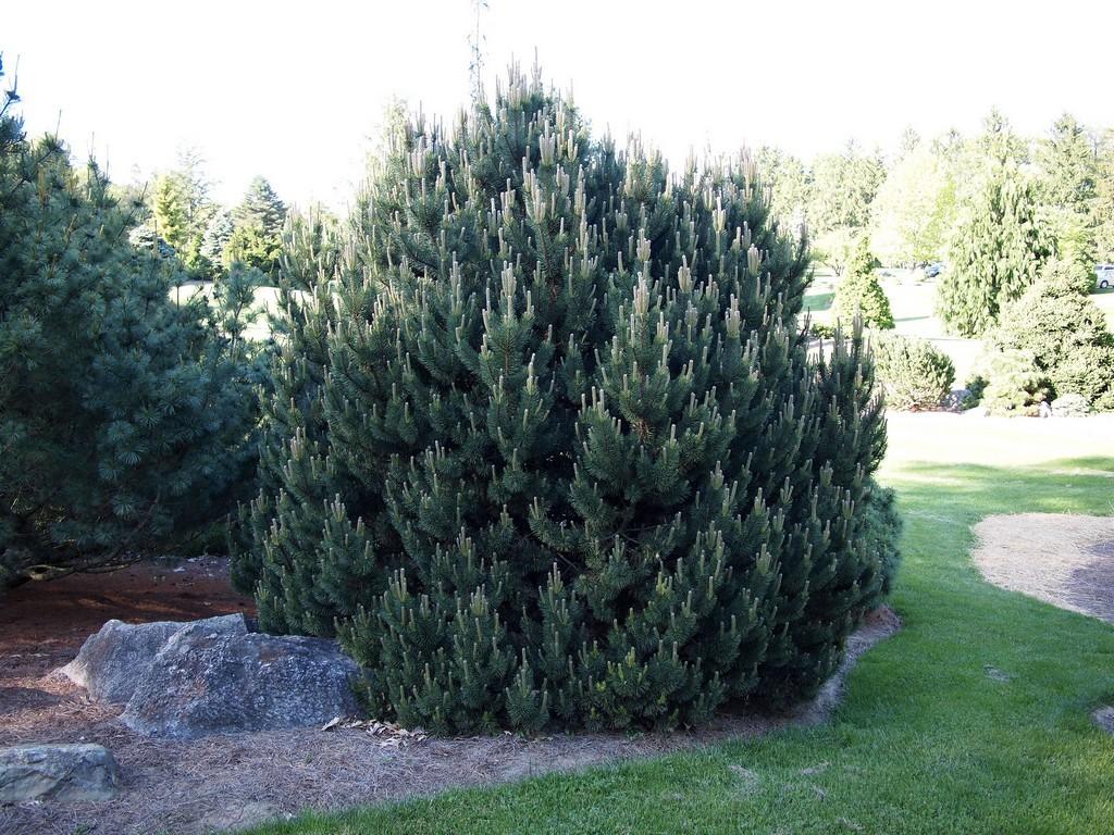 Arbuste Nain Persistant Plein Soleil pin nain : planter et entretenir – ooreka