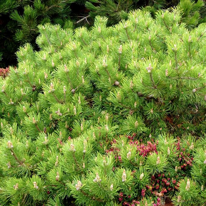 Pin nain, pin des montagnes, pin Mugho, Mugo (Pinus mugo) Espèce type