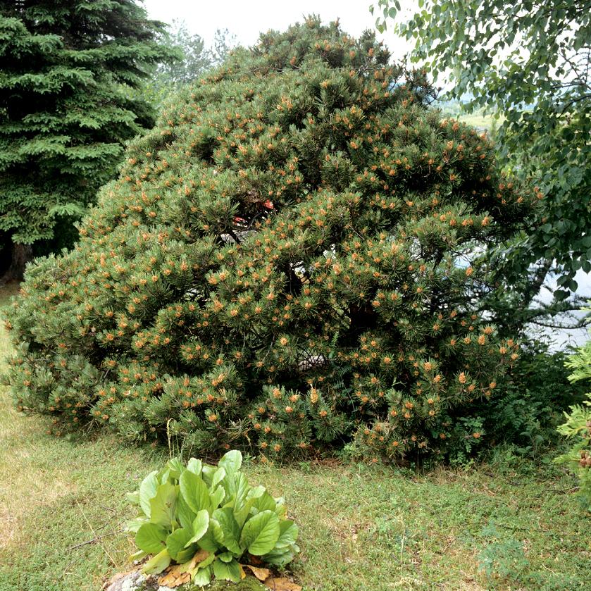 Pin nain, pin des montagnes, pin Mugho, Mugo (Pinus mugo) 'Mughus'