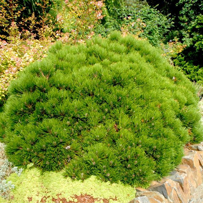 Pin nain, pin des montagnes, pin Mugho, Mugo (Pinus mugo) 'Humpy'