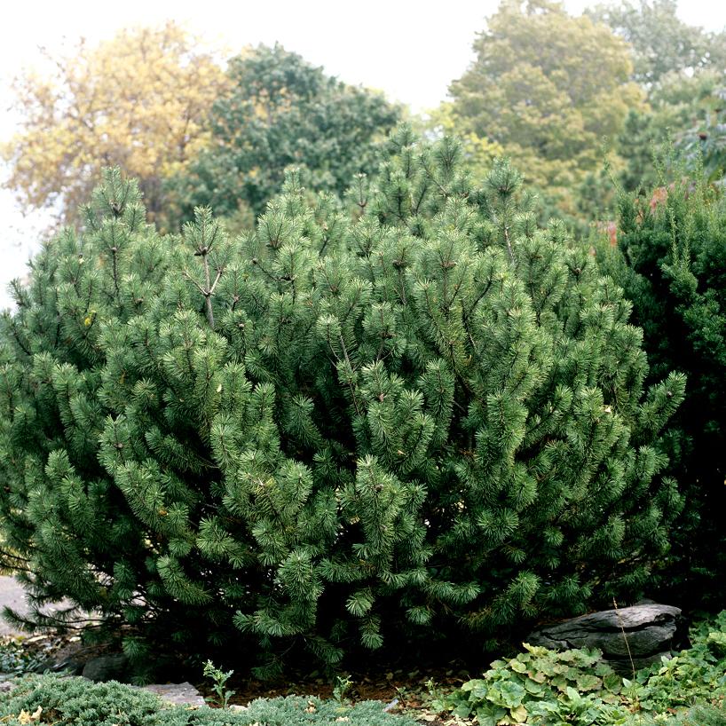 Pin nain, pin des montagnes, pin Mugho, Mugo (Pinus mugo) 'Pumilio'