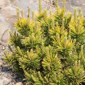 Pin nain, pin des montagnes, pin Mugho, Mugo (Pinus mugo) 'Winter Gold'
