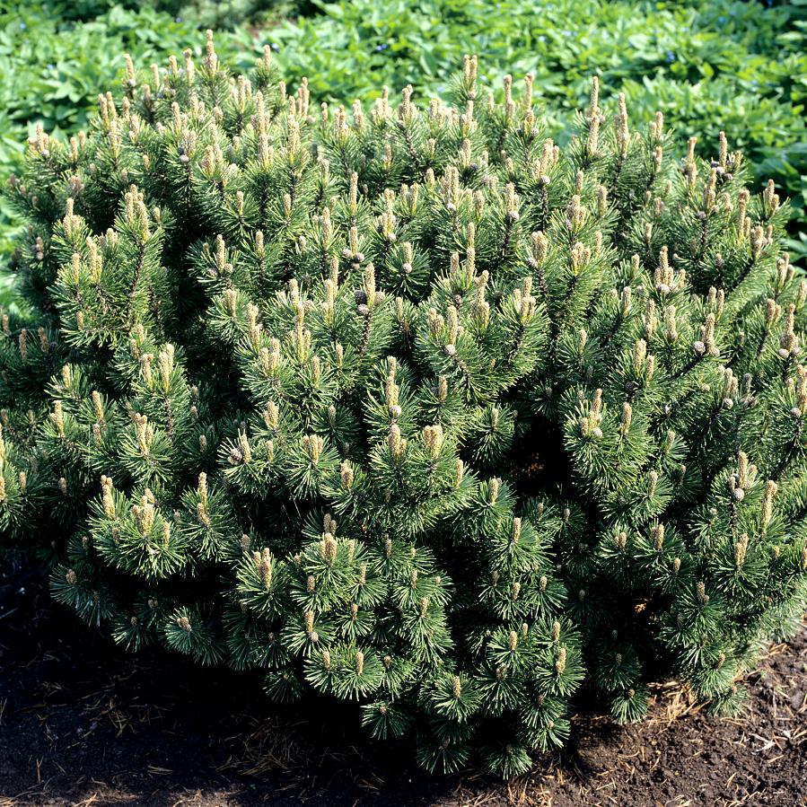 Pin nain, pin des montagnes, pin Mugho, Mugo (Pinus mugo) 'Mops'