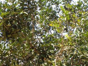 Plantation du ramboutan