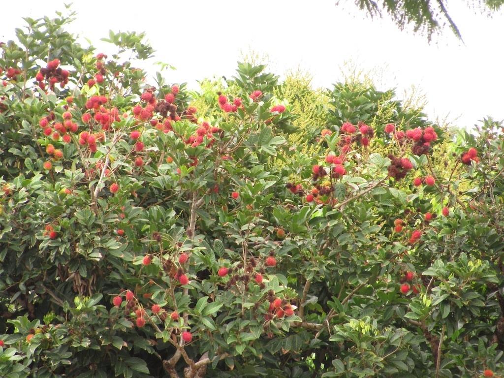 Comment Planter Un Arbre Fruitier ramboutan : planter et entretenir – ooreka