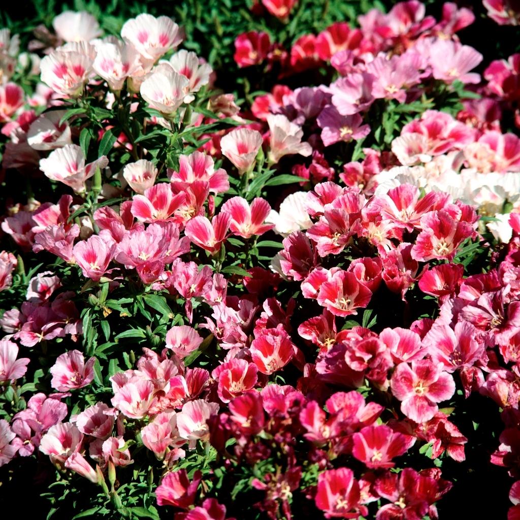 Fleur de satin (Clarkia amonea) 'Satin Lavender'