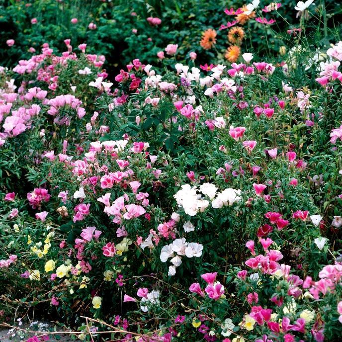 Fleur de satin (Clarkia amonea) Espèce type