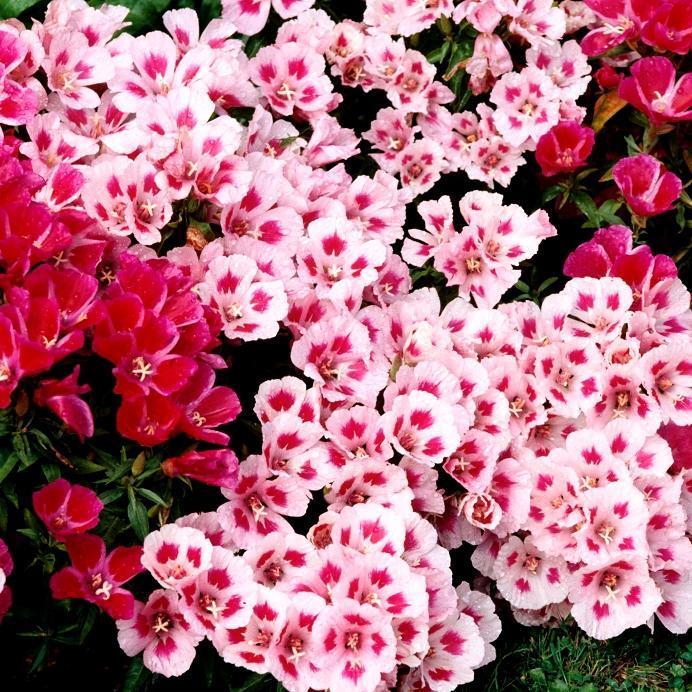 Fleur de satin (Clarkia amonea) 'À fleurs d'azalée'