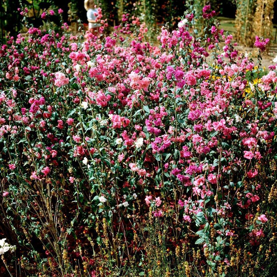 Clarkia élégant à fleurs doubles Espèce type