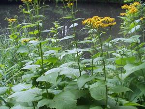 Plantation de <em>Telekia speciosa</em>