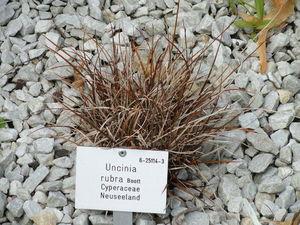 Plantation d'<em>Uncinia rubra</em>