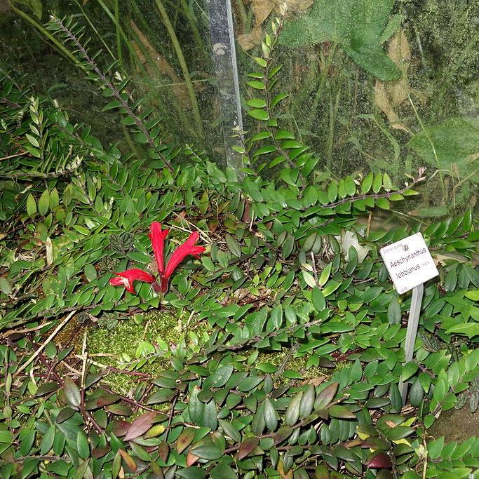 Aeschynanthus pulcher Espèce type