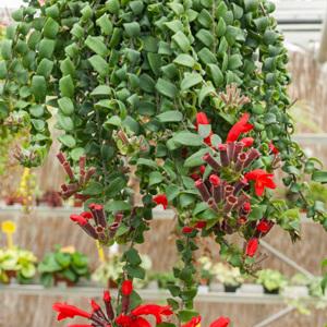 Cultivars 'Scoubidou'