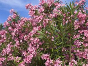 Plantation des lauriers-roses
