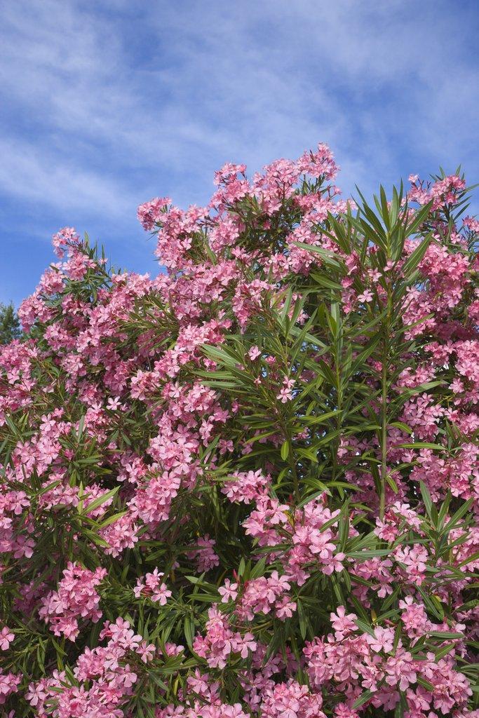 Laurier rose planter et entretenir ooreka - Laurier rose toxique au toucher ...