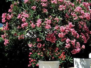 Culture et entretien du laurier-rose