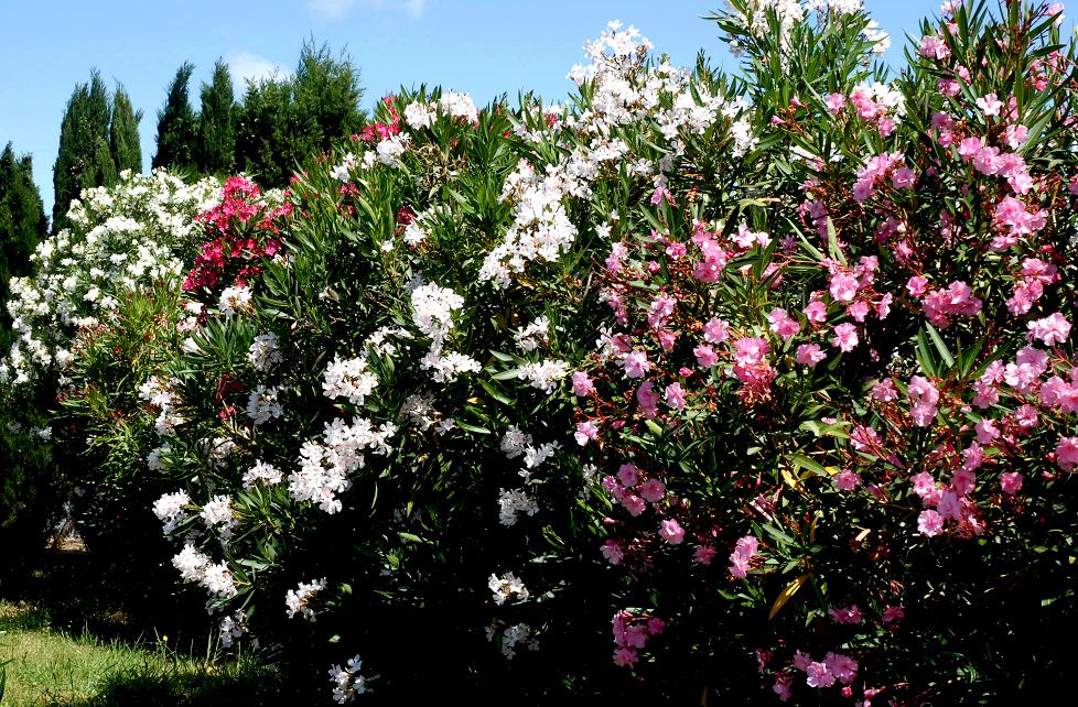 Laurier rose planter et entretenir ooreka for Plante 150 maladies madagascar
