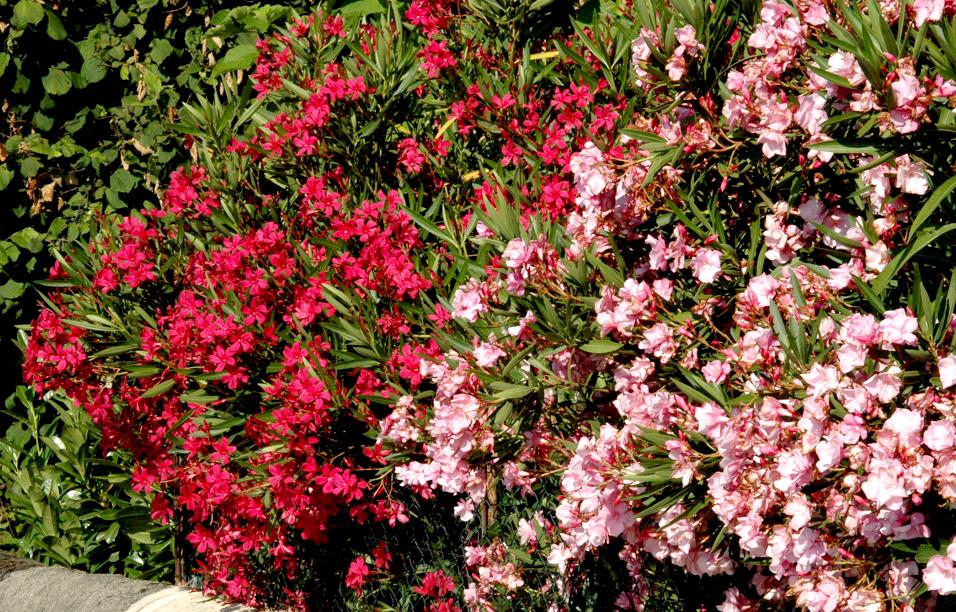 Laurier rose planter et entretenir ooreka - Maladie du laurier rose ...