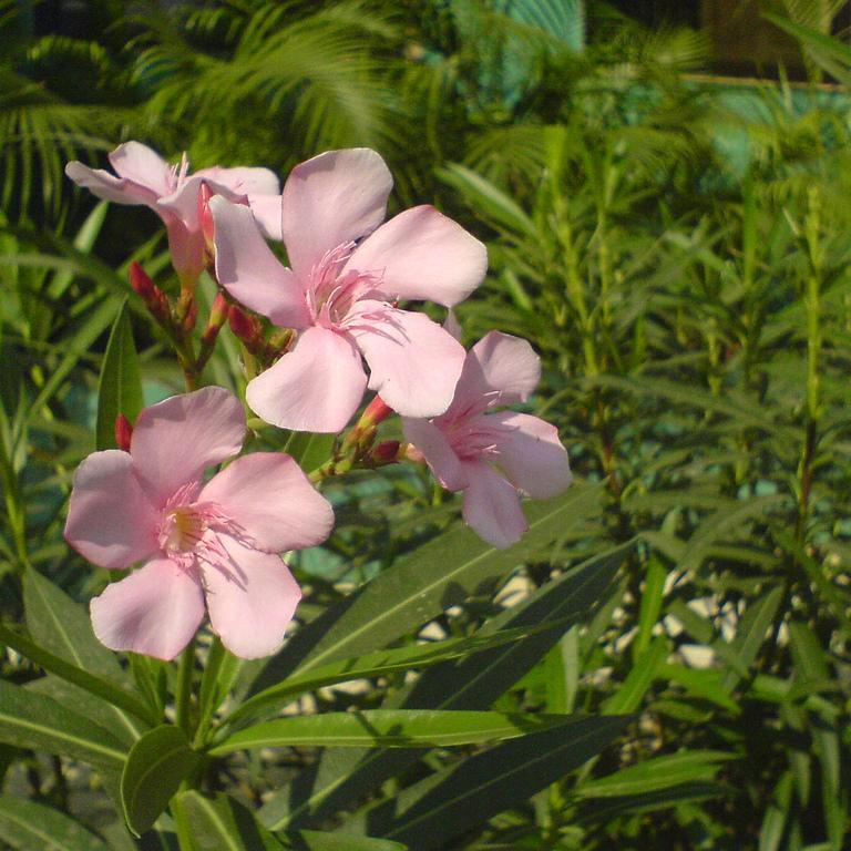 Variétés à fleurs simples 'Hardy Pink'