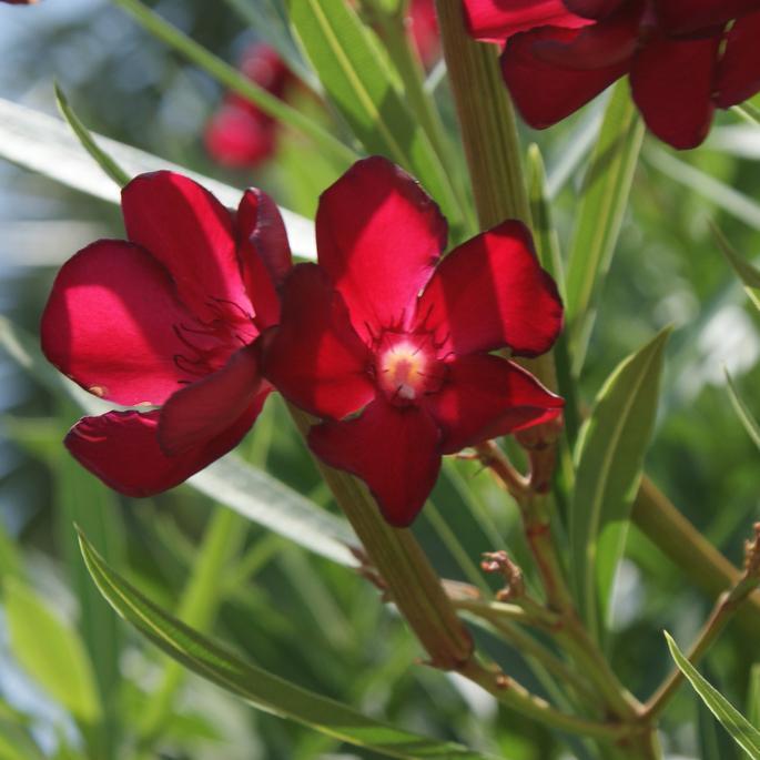 Variétés à fleurs simples 'Otalia'