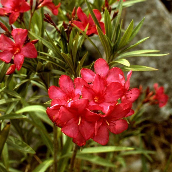 Variétés à fleurs multiples 'Tamouré'