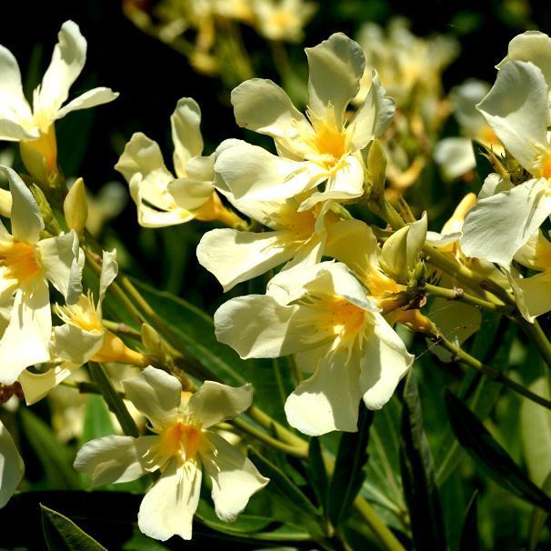 Variétés à fleurs multiples 'Luteum Plenum'