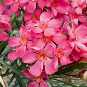 Variétés à fleurs multiples 'Roseum Plenum'