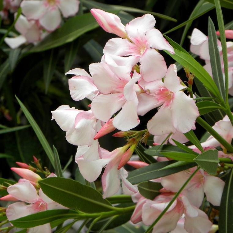 Variétés à fleurs simples 'Villa romaine'