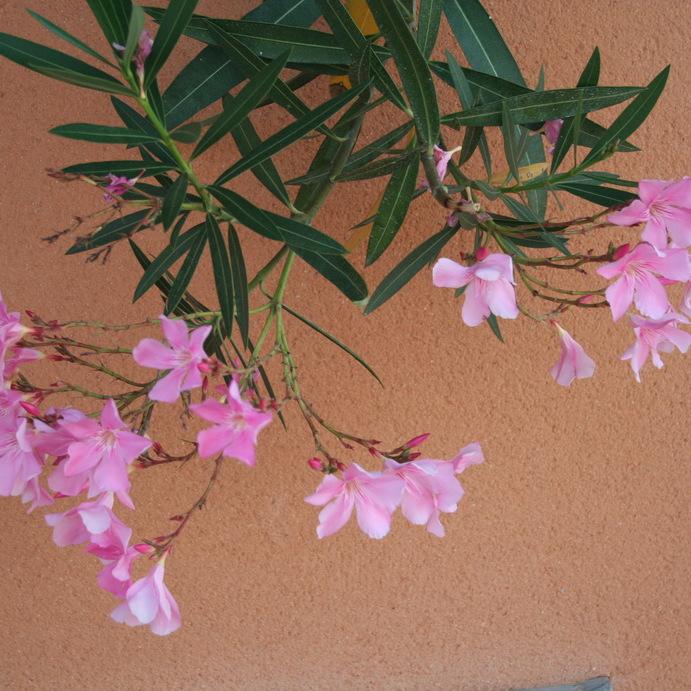 Variétés à fleurs simples 'Marie Mauron'