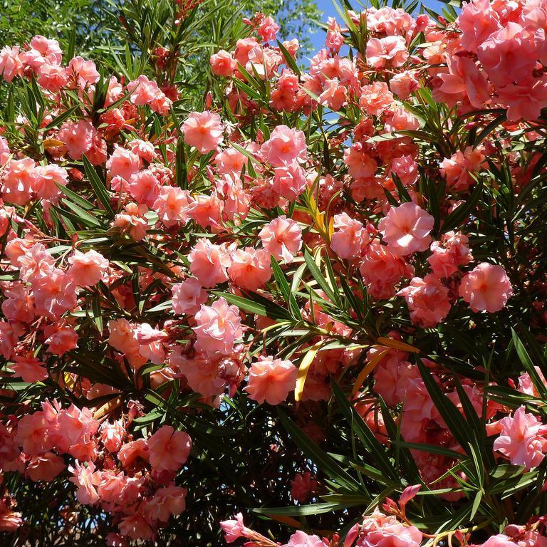 Variétés à fleurs multiples 'Mrs Roeding'
