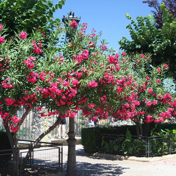 Variétés à fleurs multiples 'Géant des Batailles'