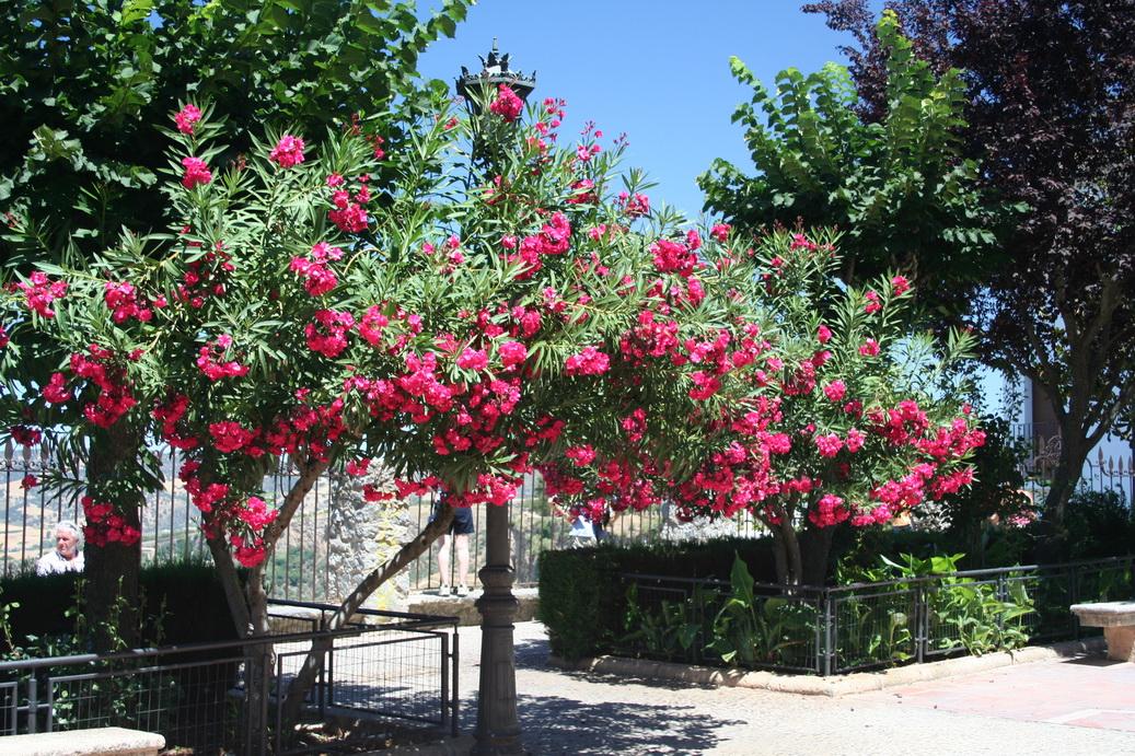 laurier rose : planter et entretenir – ooreka