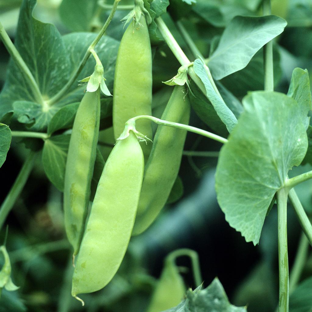 Petit pois : semer et planter - Ooreka