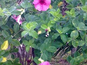 Plantation de l'allamanda