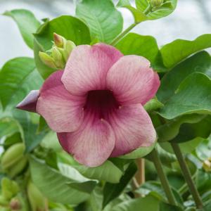 Allamanda blanchetii Espèce type
