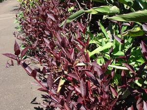 Plantation d'<em>Alternanthera</em>