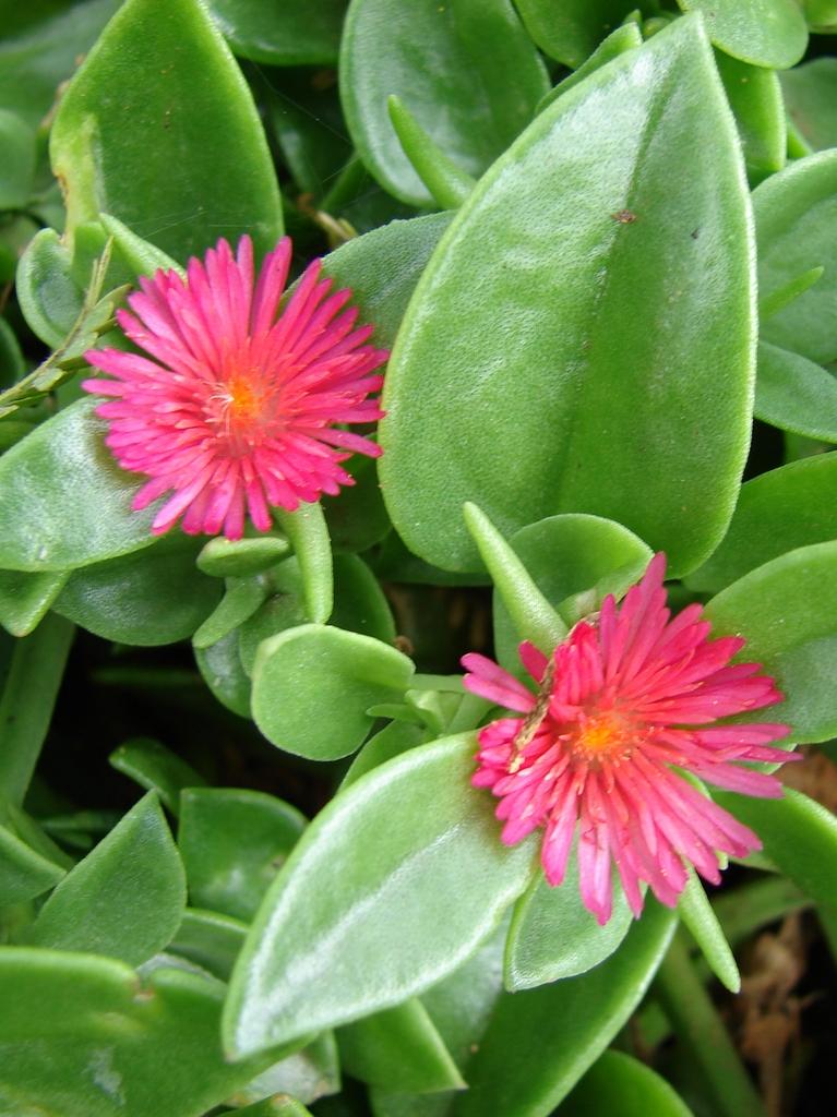 Aptenia cordifolia planter et entretenir ooreka for Plante lumineuse