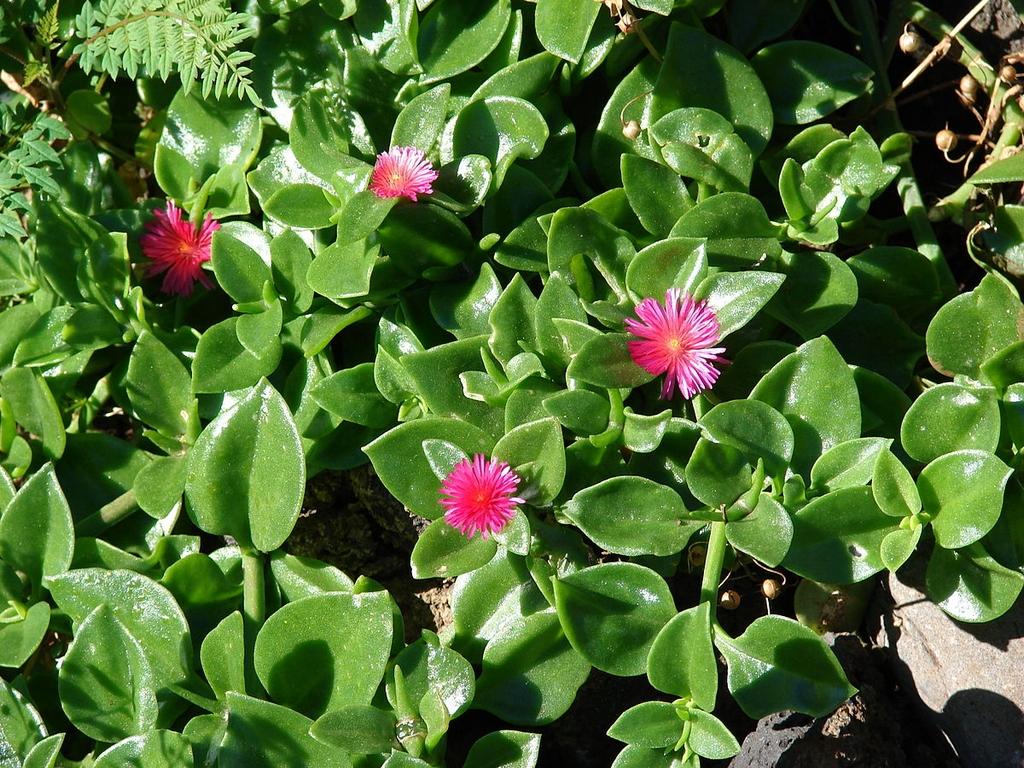 Aptenia cordifolia planter et entretenir ooreka - Plante grasse retombante ...