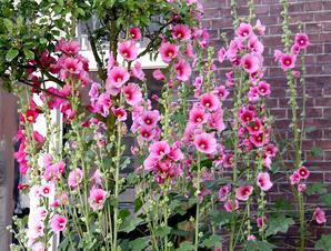 Semis et plantation de la rose trémière