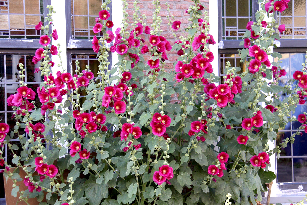 Rose tr mi re semer et planter ooreka - Planter des roses tremieres ...