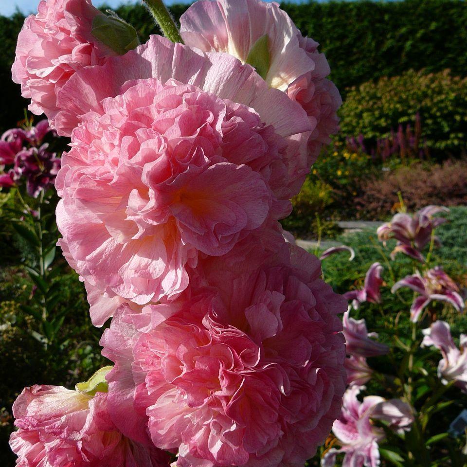 Alcea rosea Pleniflora Grp.