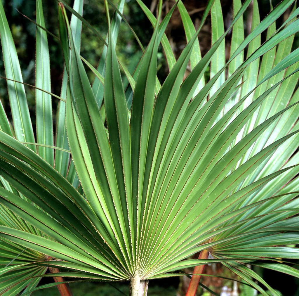 Bismarckia nobilis planter et entretenir ooreka for Plante 150 maladies madagascar